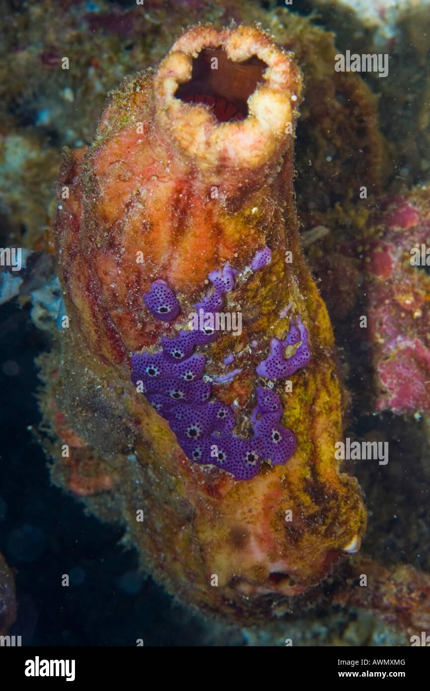 Sea Squirts (Ascidiae or Ascidiacea), Indonesia, Asia Stock Photo
