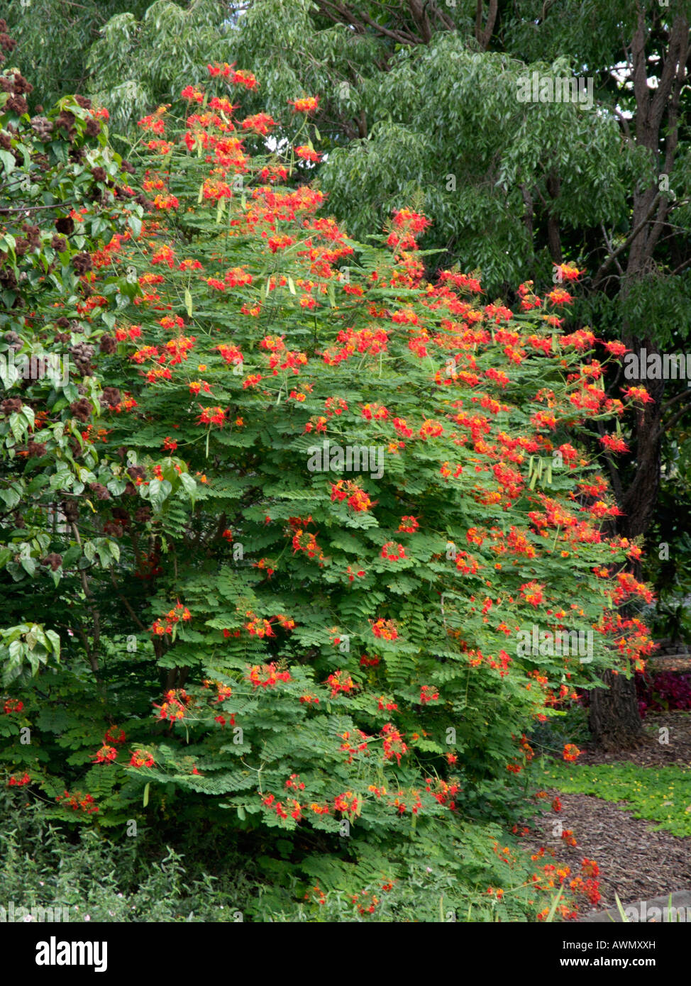 Pride Of Barbados Caesalpinia Pulcherrima Stock Photo 16617304 Alamy