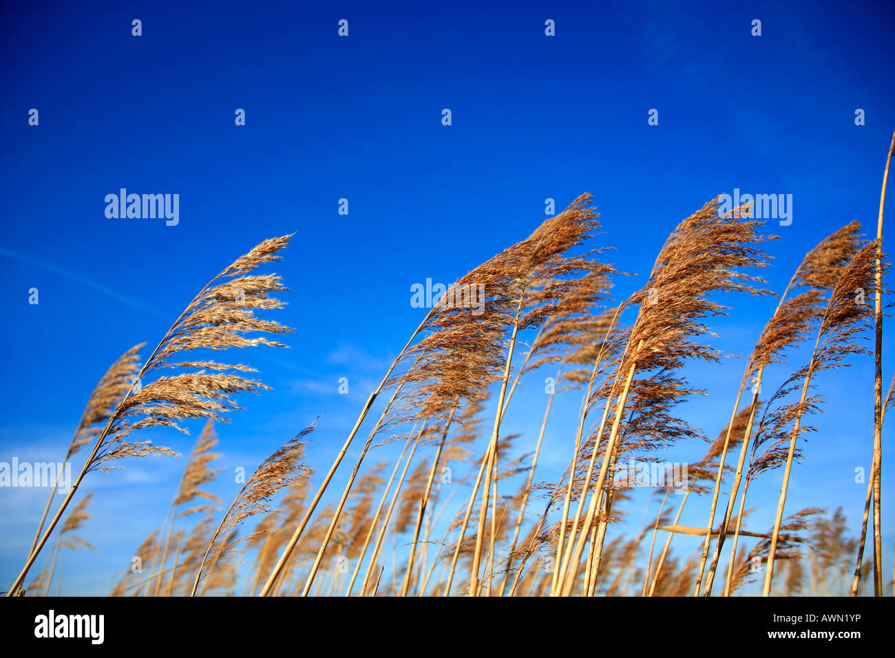 Fenland Reedbeds Whittlesey Washes National Nature and Bird Reserve Cambridgeshire England Britain UK Europe East Stock Photo
