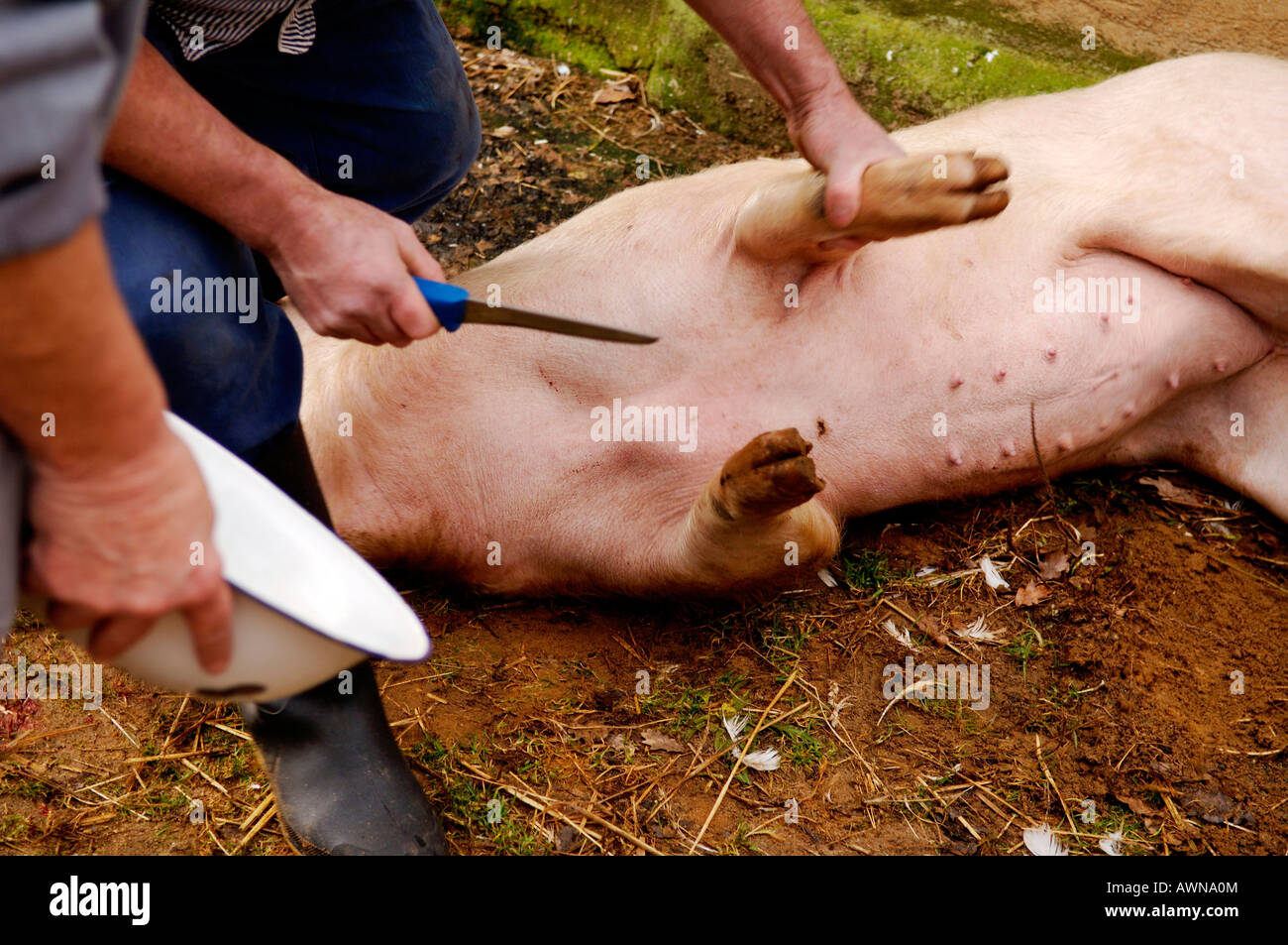 Home butchering, draining the blood from an anesthetised pig, Eckental, Middle Franconia, Bavaria, Germany, Europe - Stock Image