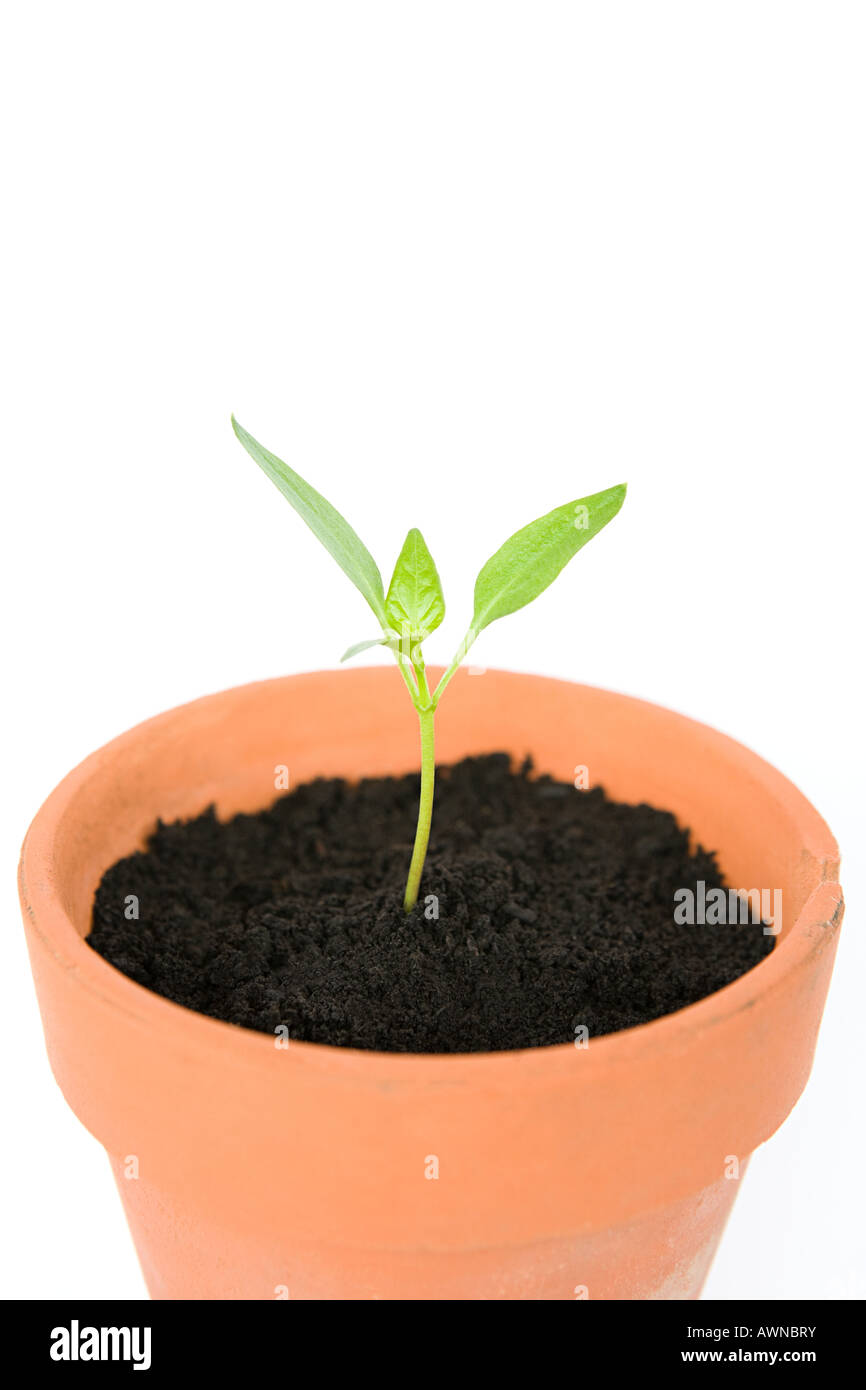 Seedling in a pot - Stock Image