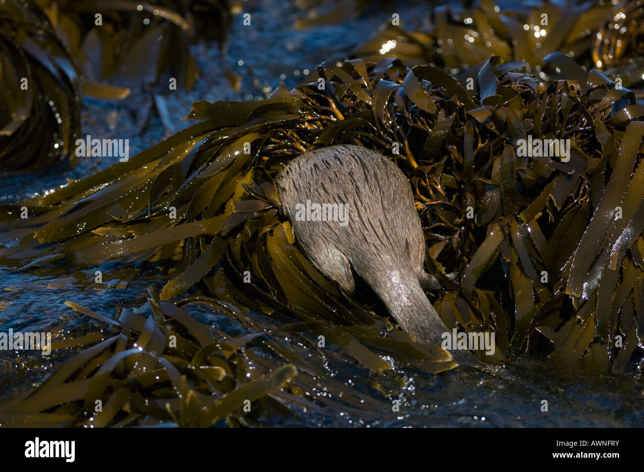 Marine Otter (Lontra felina) or Chungungo, ENDANGERED, Chiloe Island, Chile Foraging in kelp beds at low tide - Stock Image
