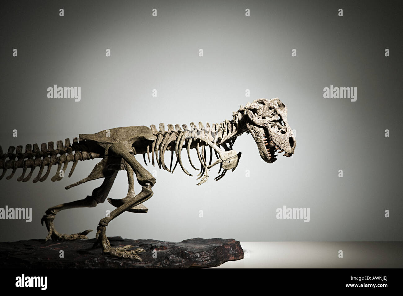 Dinosaur skeleton - Stock Image