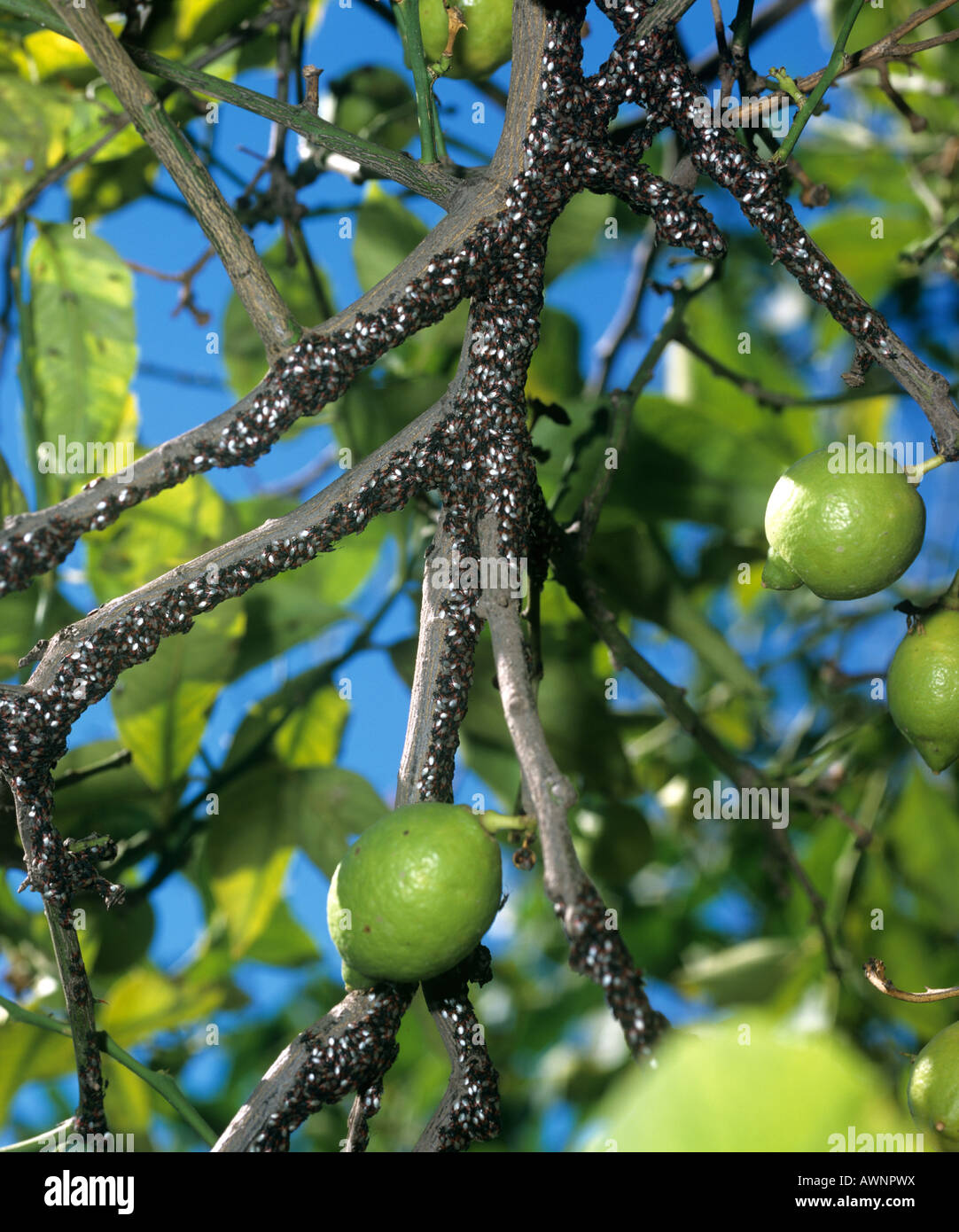Masses of Lygaeid bugs Lygaeidae hibernating or congregating in the branches of a lemon tree - Stock Image