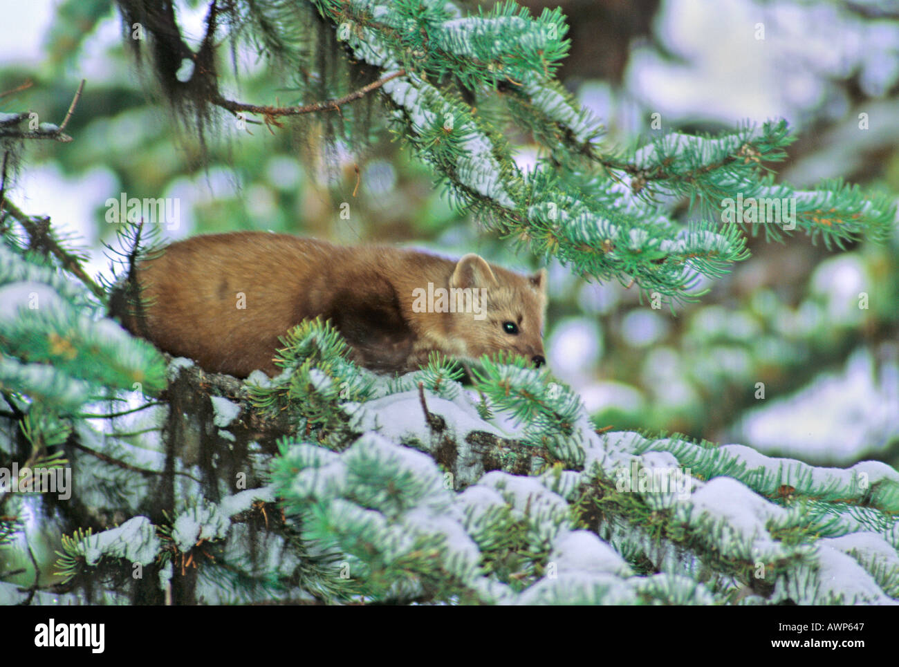 Red squirrel from women&#39