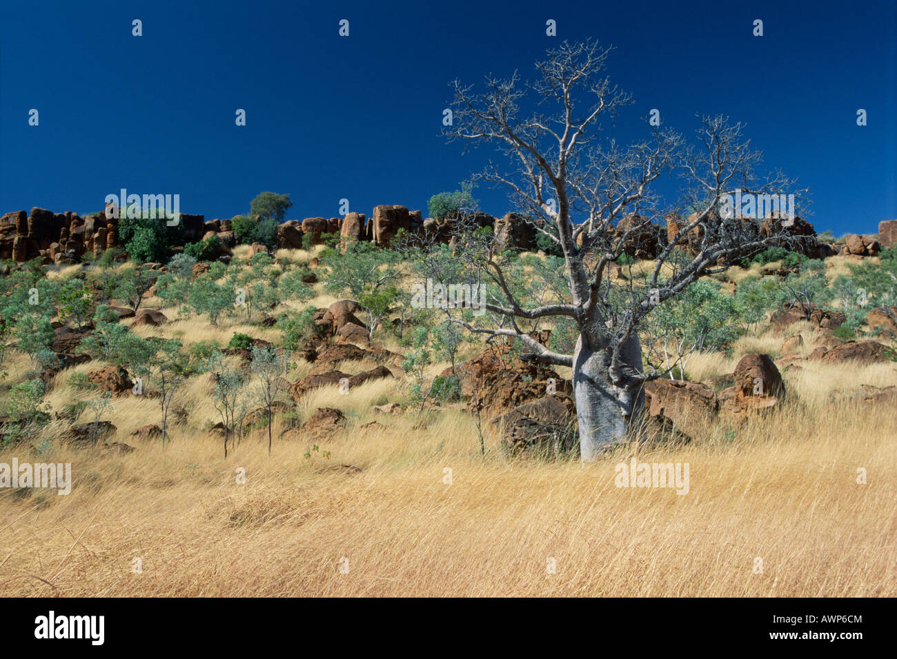 Baobab tree (Adansonia gregorii), Kimberly Region, Western Australia, Australia, Oceania Stock Photo