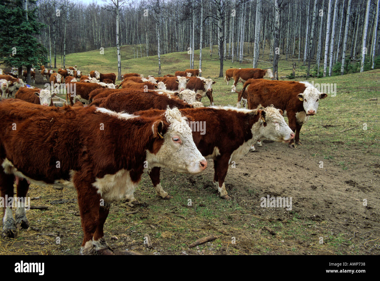 A Herd of Beef Cattle - Stock Image