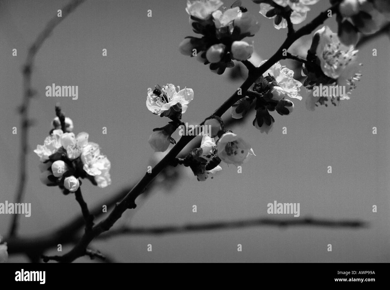 Blossomed cherry tree twig twig bud embryo burgeon white apricot beauty evening country  focus bee pistil stamen nature flower - Stock Image