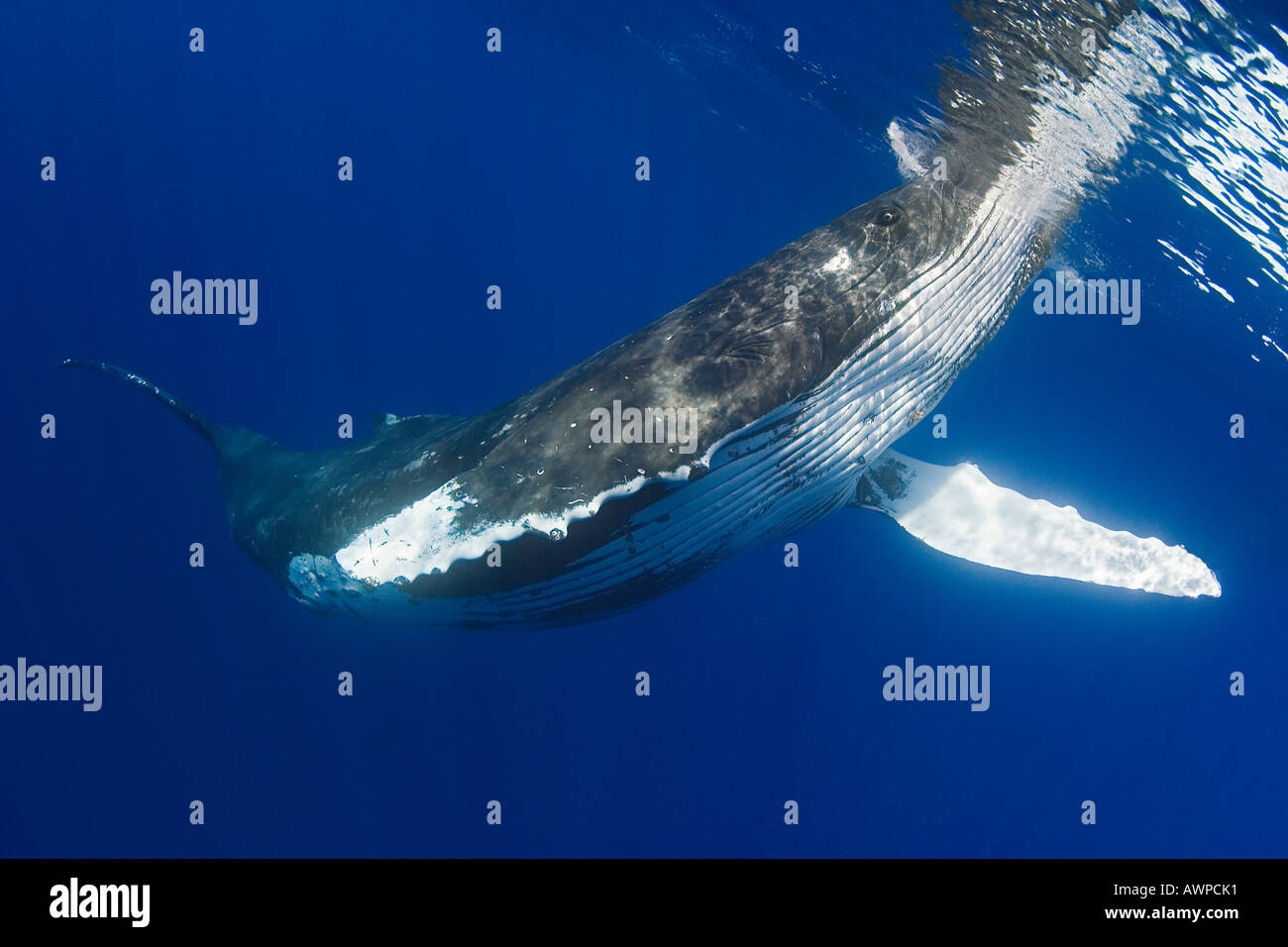 humpback whale, Megaptera novaeangliae, spyhopping, Hawaii, Pacific Ocean - Stock Image