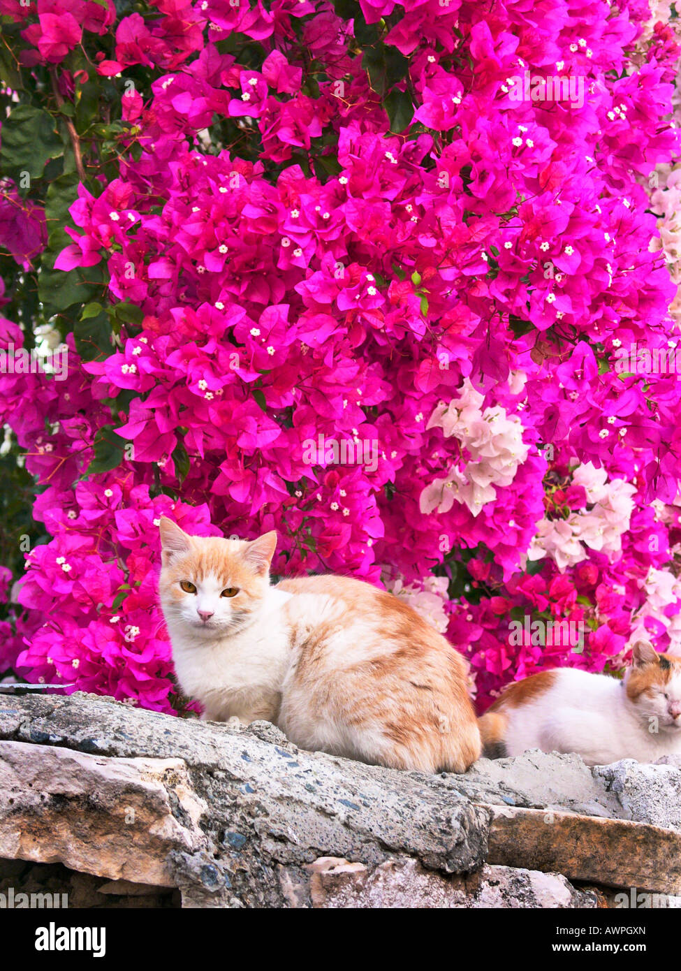 Domestic cats resting on a garden wall in the Cypriot village of Agios Georgios Silikou  Cyprus EU - Stock Image