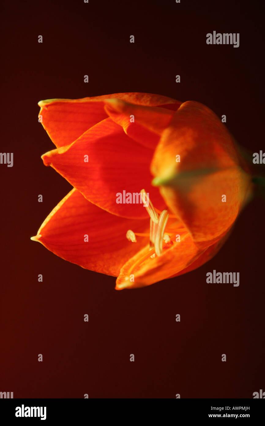 Red orange blossom, Hippeastrum Stock Photo