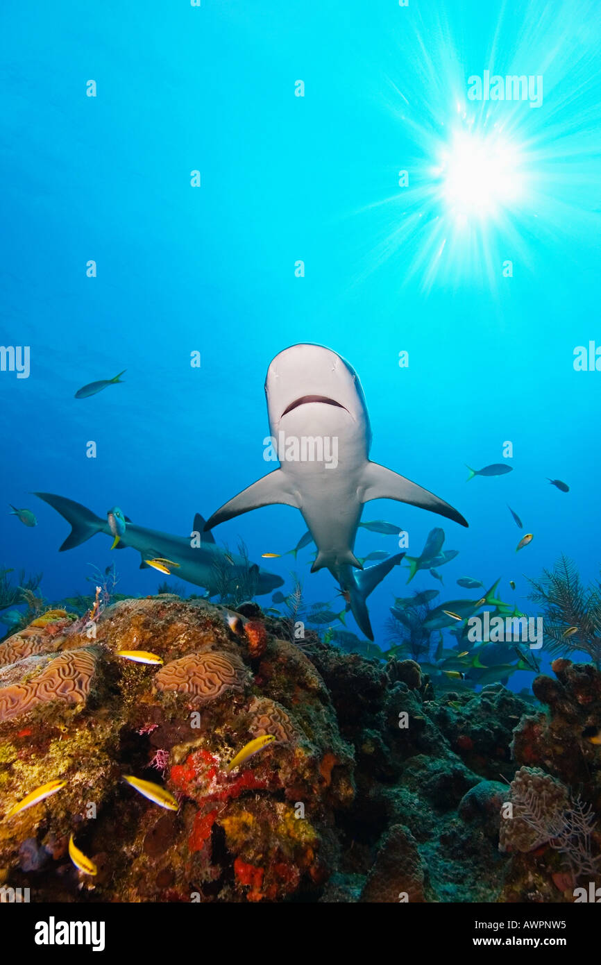 Caribbean Reef Sharks, Carcharhinus perezi, over coral reef, West End, Bahamas, Atlantic Ocean - Stock Image