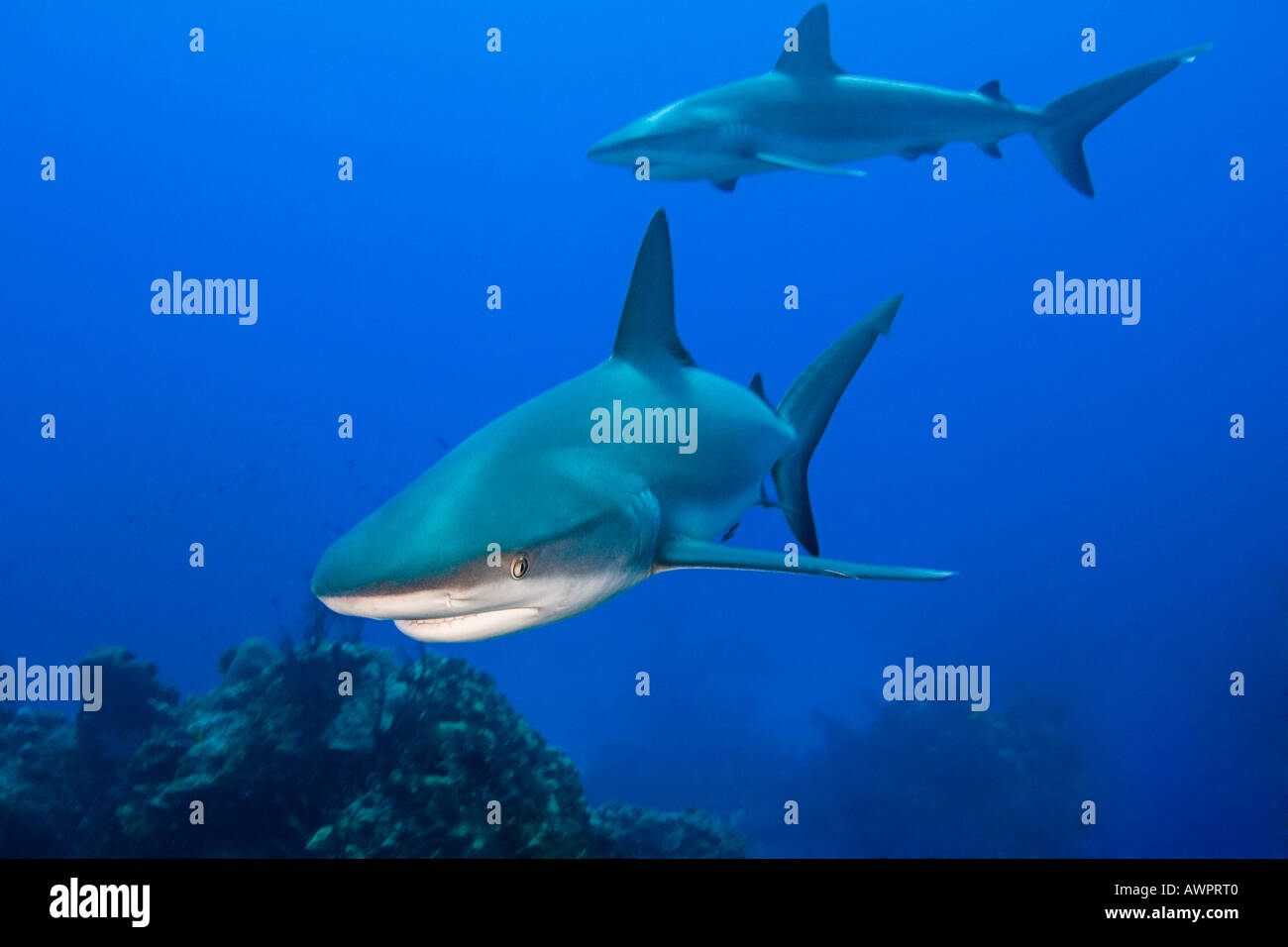 Caribbean Reef Sharks, Carcharhinus perezi, West End, Bahamas, Atlantic Ocean - Stock Image
