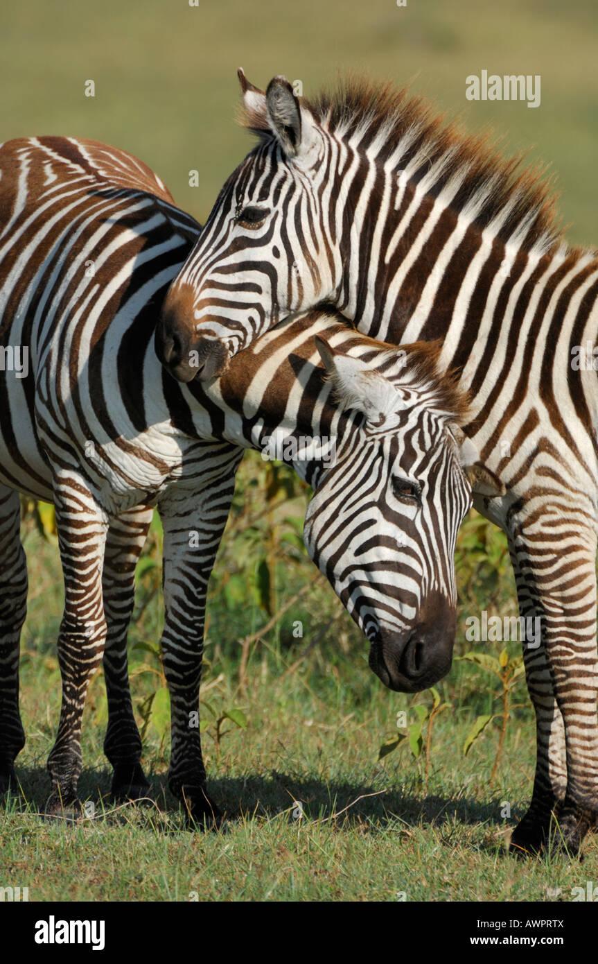 Plains Zebras (Equus quagga) Lake Nakuru Kenya Africa Stock Photo