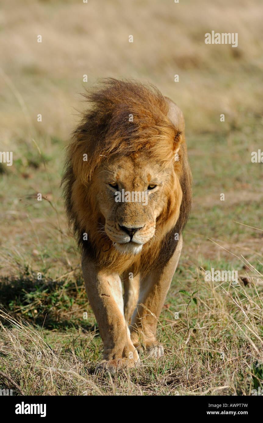 Lion (Panthera leo), Masai Mara, Kenya, Africa Stock Photo