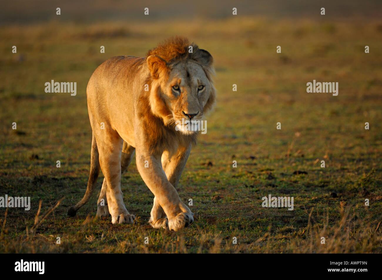 Lion (Panthera leo) in morning light, Masai Mara, Kenya, Africa Stock Photo
