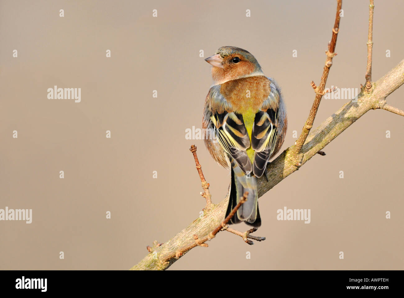 Chaffinch or Spink (Fringilla coelebs) perched on a branch - Stock Image