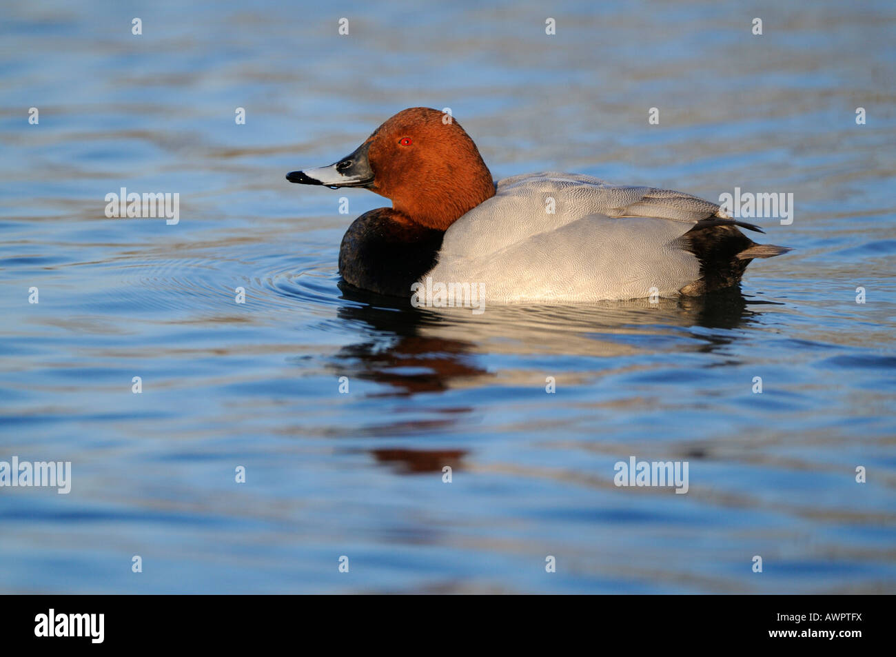 Common Pochard (Aythya ferina) basking in the evening sun, Flachsee (Flach Lake), Switzerland, Europe - Stock Image