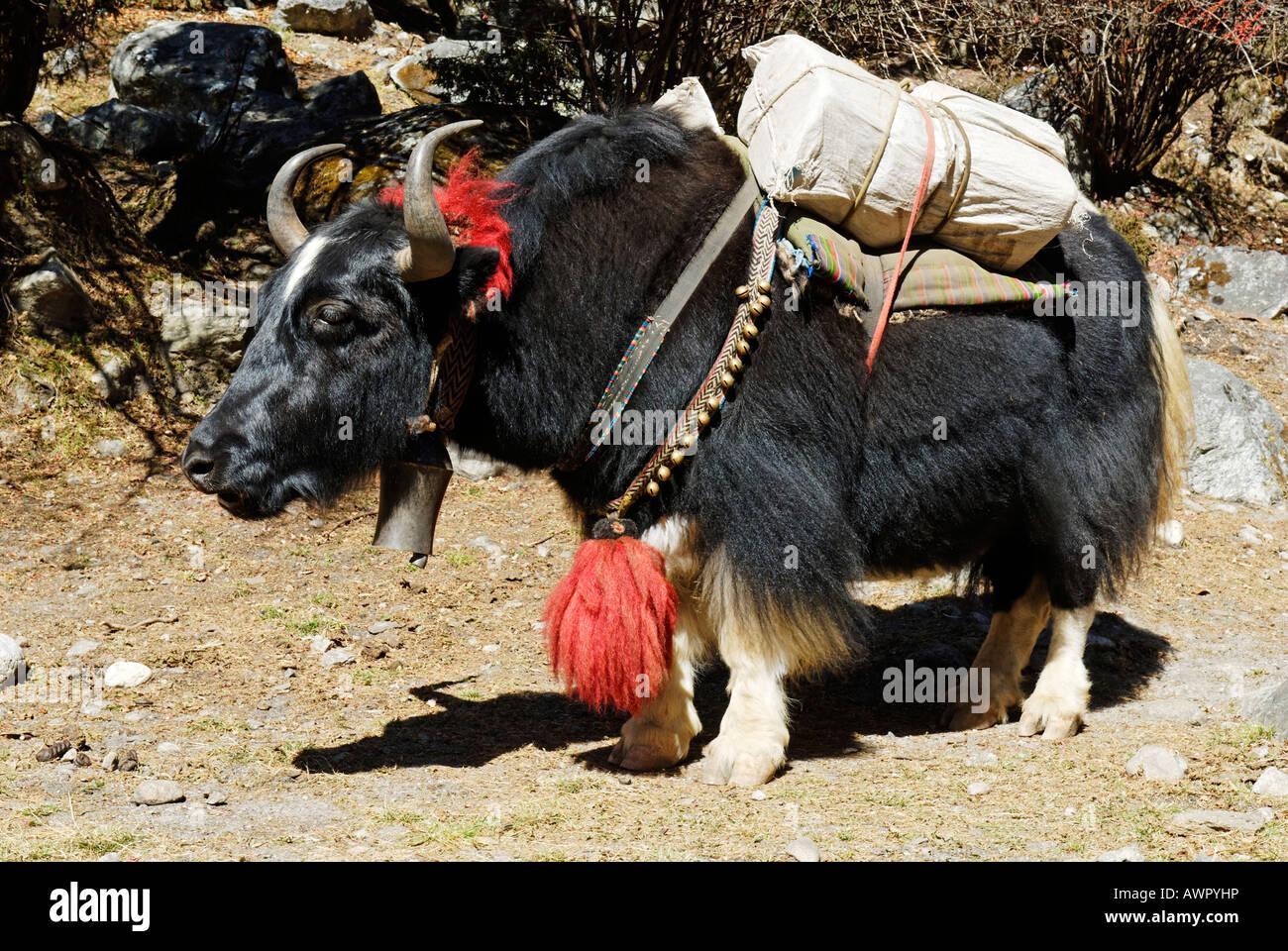 Yak with burden, Sagarmatha National Park, Khumbu Himal, Nepal - Stock Image