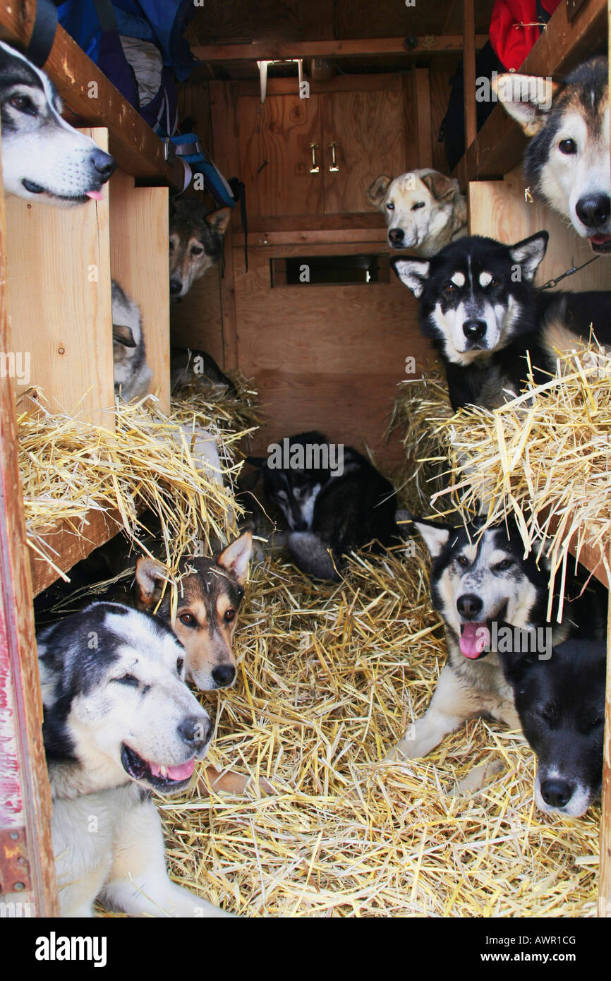 Sled dogs being transported in a truck, Muktuk Kennels, Yukon Territory, Canada Stock Photo