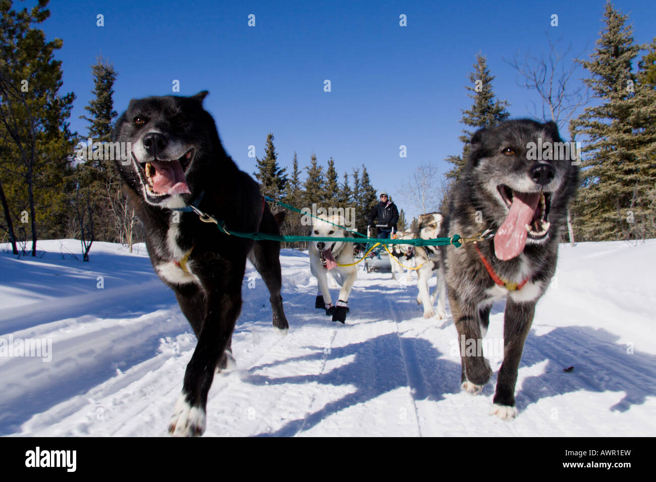 Running dog sled team with musher, photographed from front, with two black lead dogs, Yukon Quest Trail, Yukon Territory, - Stock Image