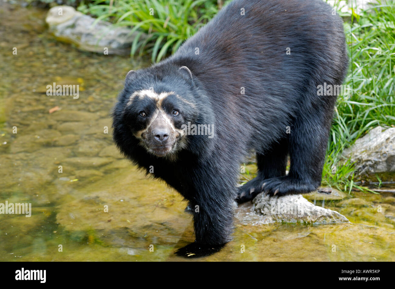 Spectacled Bear (Tremarctos ornatus) at the water, Zoo Zurich, Switzerland Stock Photo