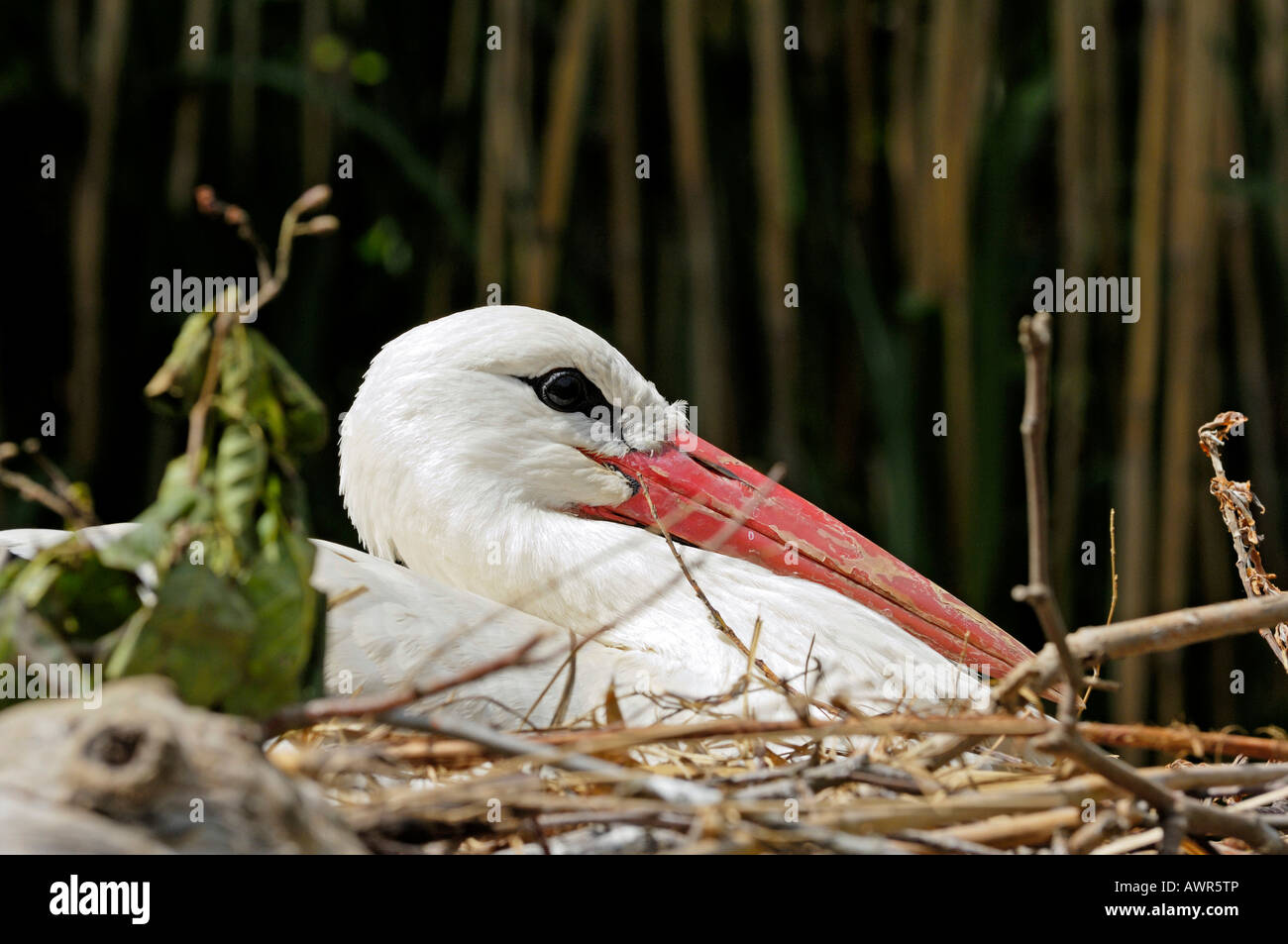 White stork (Ciconia ciconia) brooding on nest, Zurich Zoo, Zurich, Switzerland, Europe Stock Photo