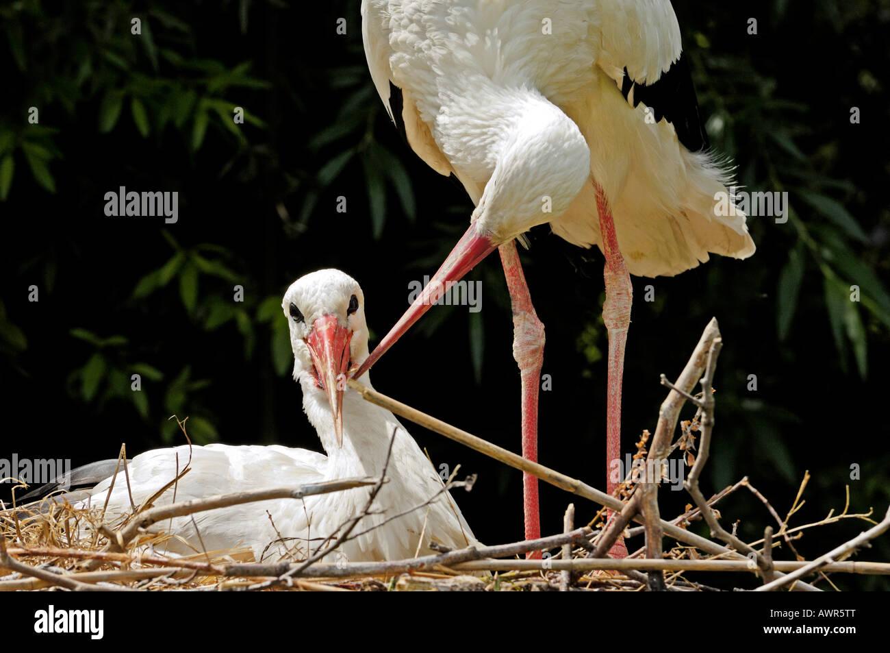 Affectionate white stork pair (Ciconia ciconia), Zurich Zoo, Zurich, Switzerland, Europe Stock Photo