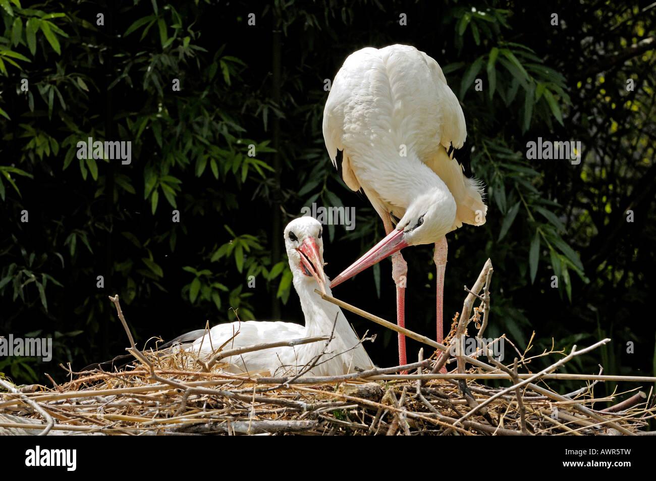 Affectionate white storks (Ciconia ciconia), Zurich Zoo, Zurich, Switzerland, Europe Stock Photo