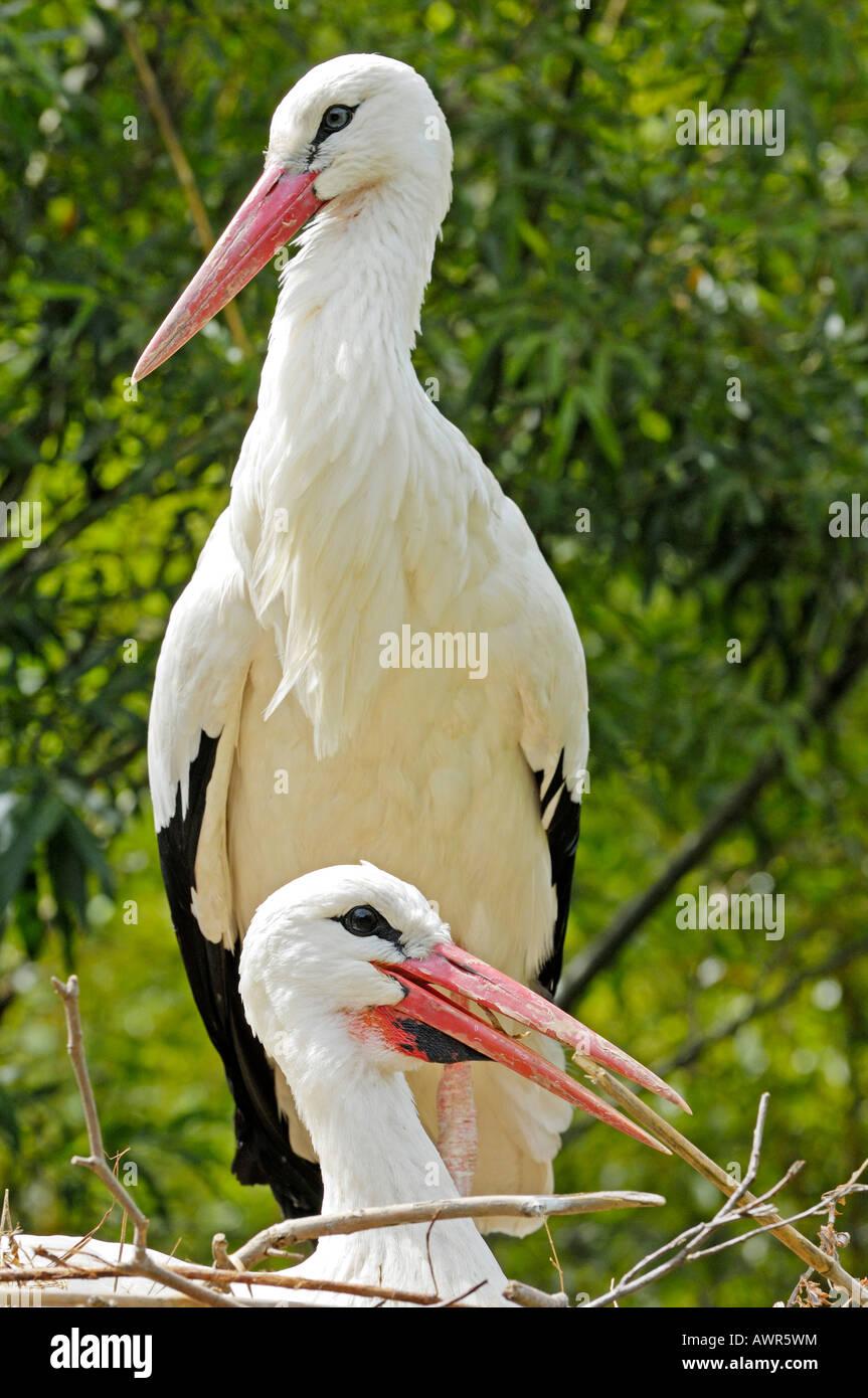 White storks (Ciconia ciconia), Zurich Zoo, Zurich, Switzerland, Europe Stock Photo