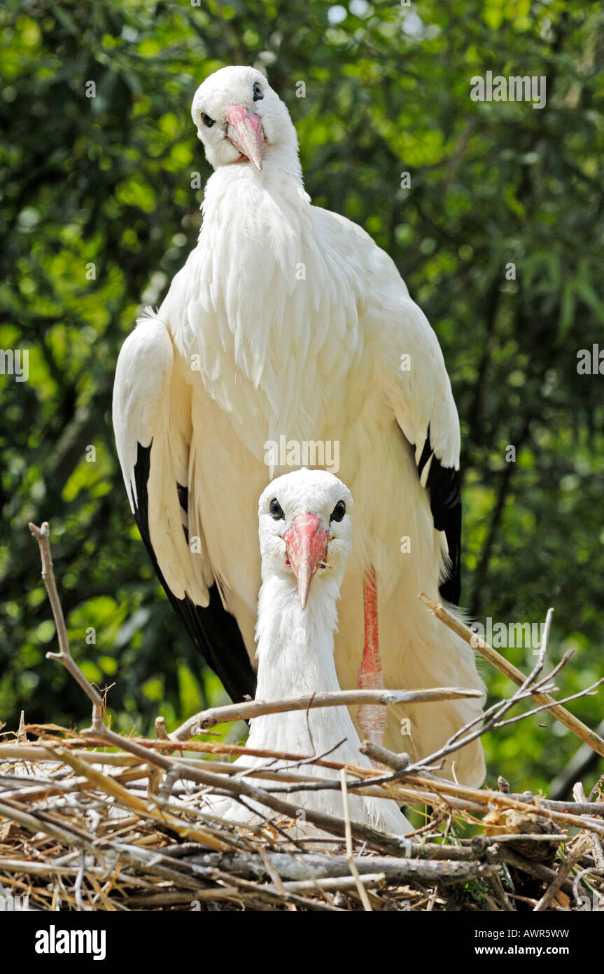 Affectionate Stork pair (Ciconiidae), Zurich Zoo, Zurich, Switzerland, Europe Stock Photo