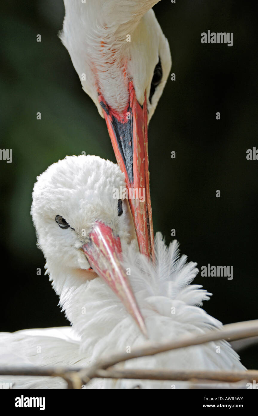 Affectionate white stork pair (Ciconia ciconia) nesting, Zurich Zoo, Zurich, Switzerland, Europe Stock Photo