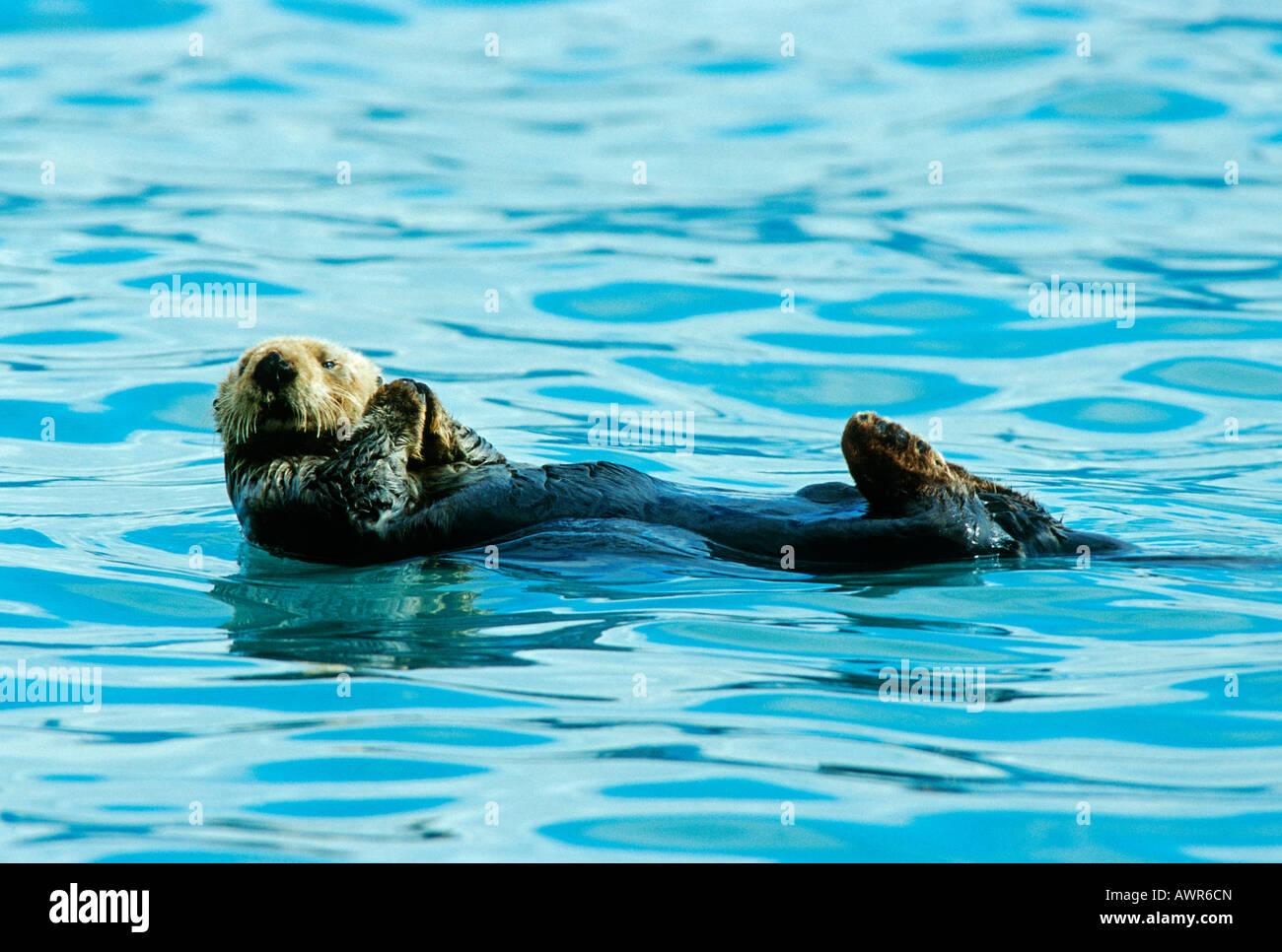Sea Otter, Prince William Sound, Alaska, USA Stock Photo