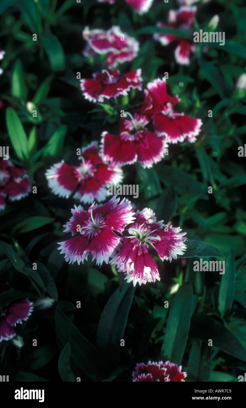 Sweet William Or Indian Pink Or Annual Carnation Dianthus Stock