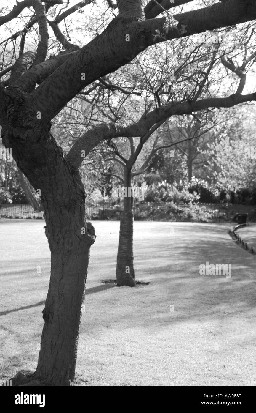 Two trees in black and white in St Stephens Green Dublin shot in the winter. - Stock Image
