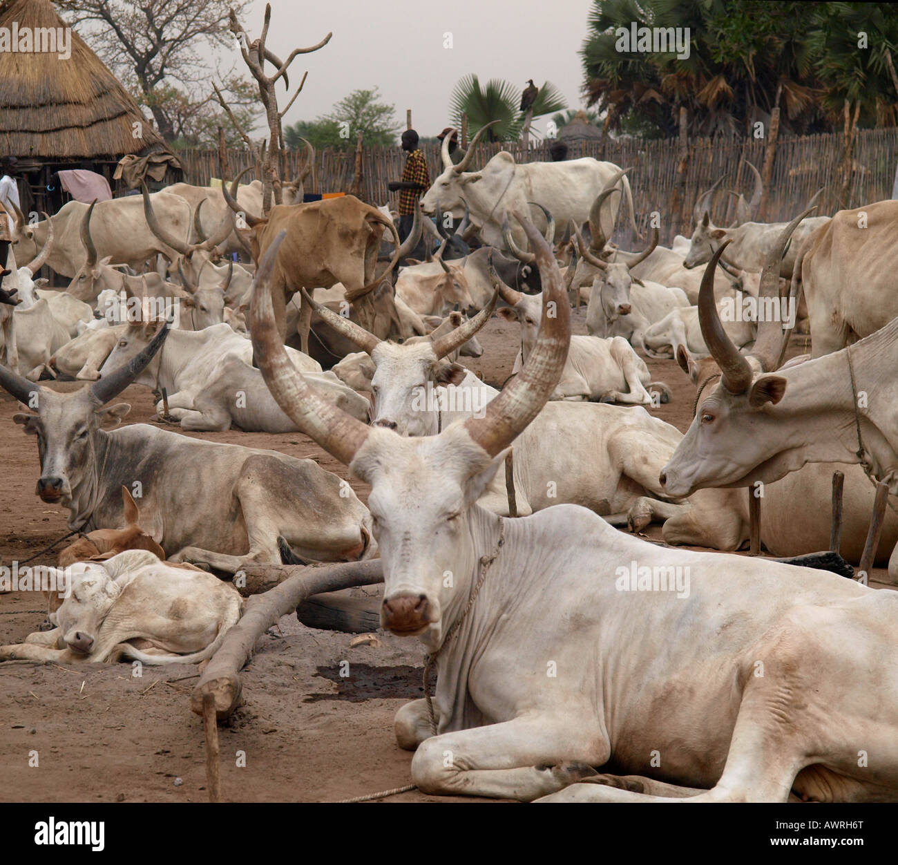 Cattle herd in South Sudan - Stock Image