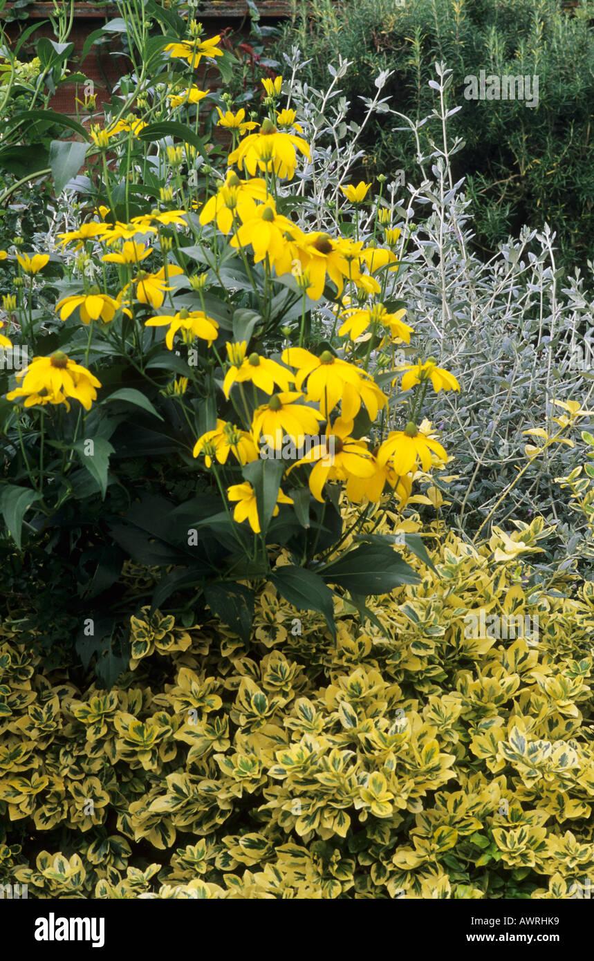 Kettle Hill, Rudbeckia, Euonymus 'Emerald 'n' Gold', garden border, October, Autumn, plants, flowers - Stock Image