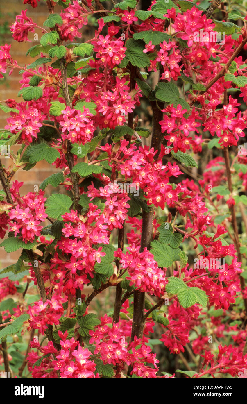 Ribes Sanguineum King Edward Vii Flowering Currant Bush