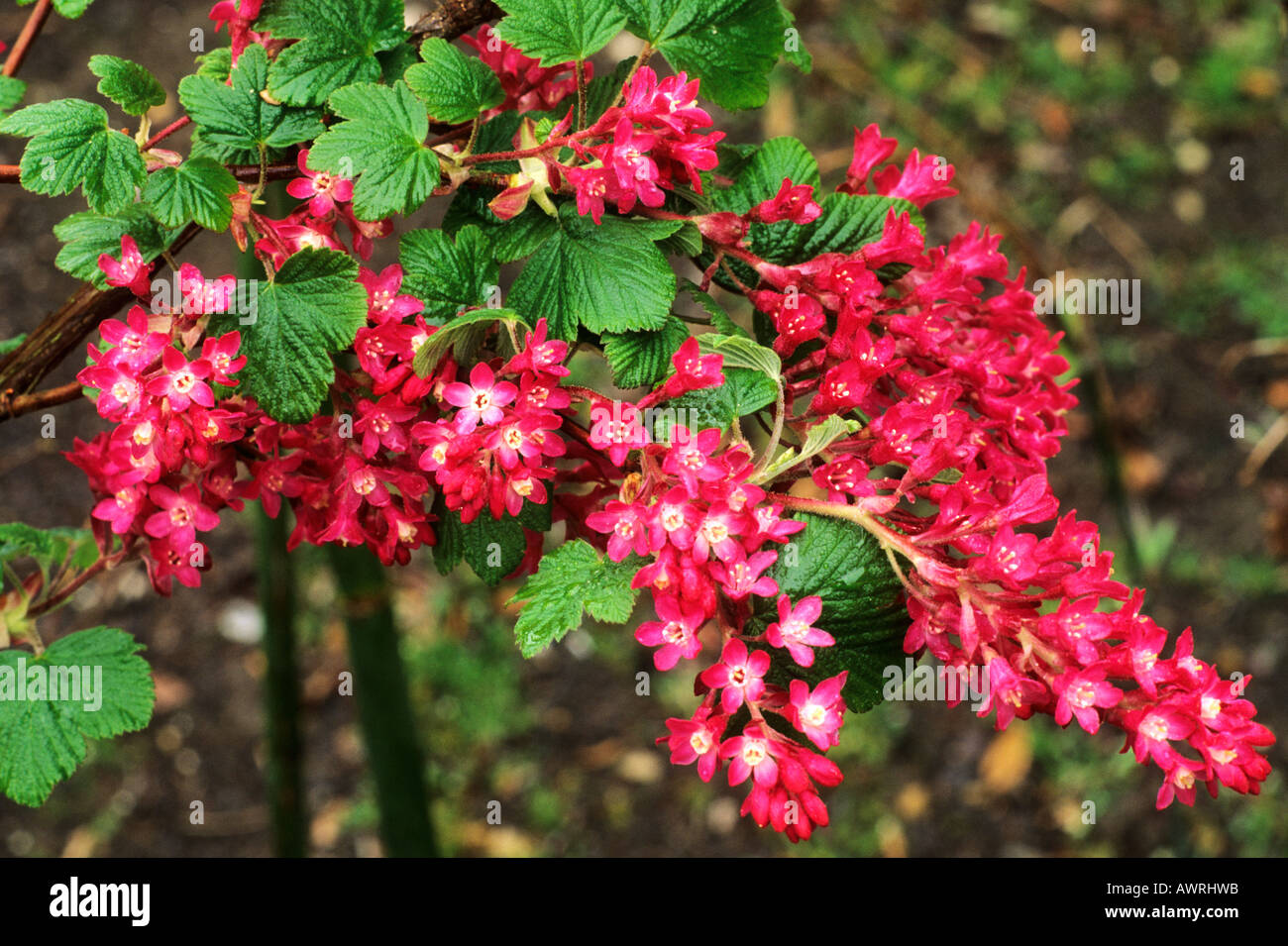 ribes sanguineum 39 king edward vii 39 flowering currant bush red stock photo 9509978 alamy. Black Bedroom Furniture Sets. Home Design Ideas