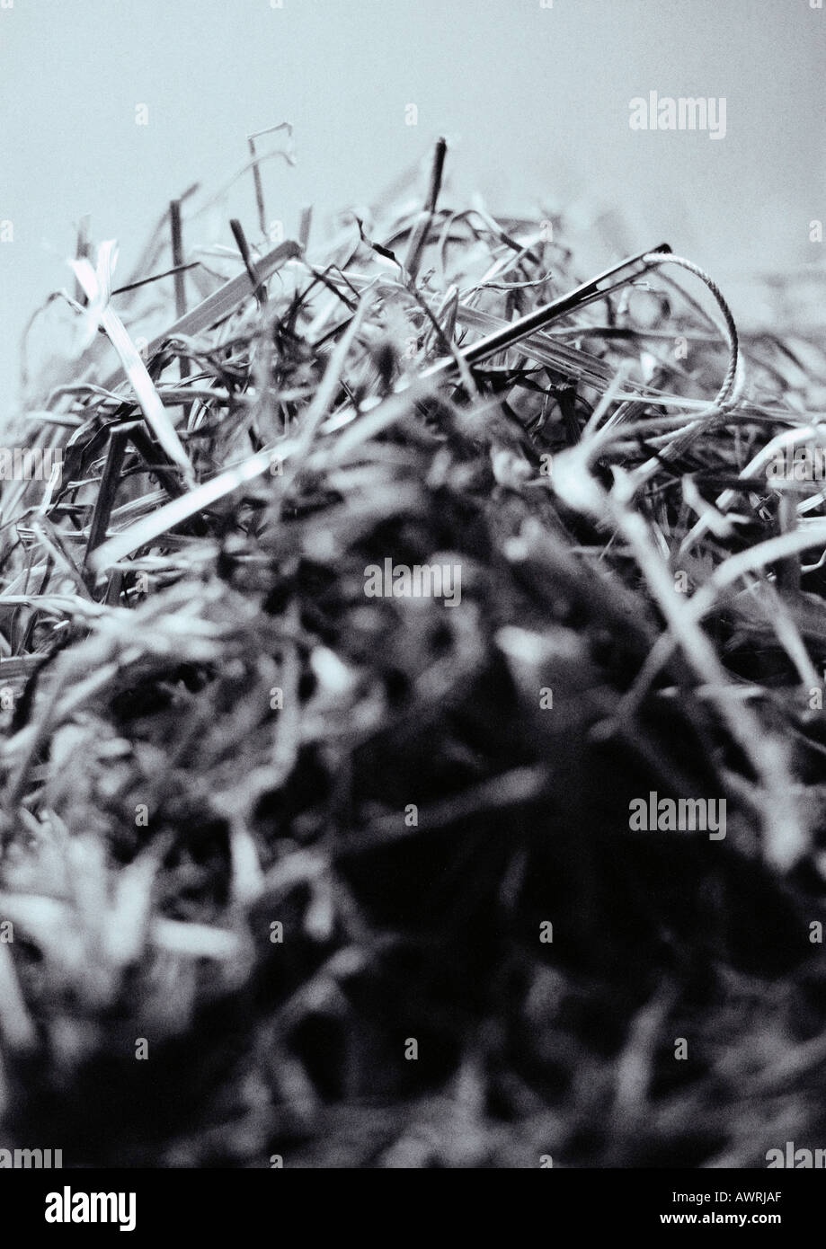 Needle in haystack, close-up - Stock Image