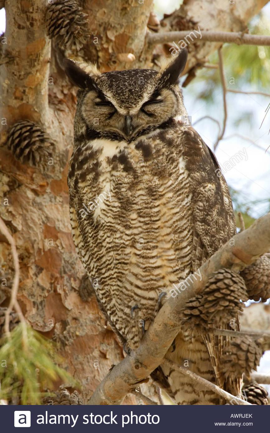 Great Horned Owl Bubo virginianus sleeping Stock Photo