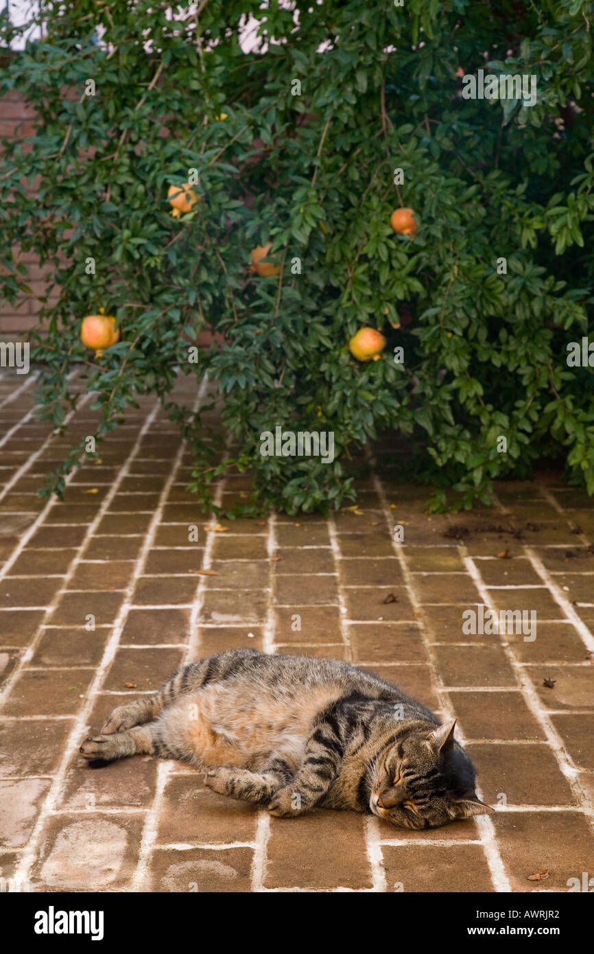 Tabby cat napping on patio near pomegranate tree in old Deruta Italy - Stock Image