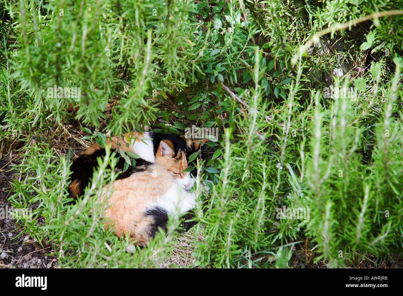 Cat curled up under tall grass Deruta Italy - Stock Image