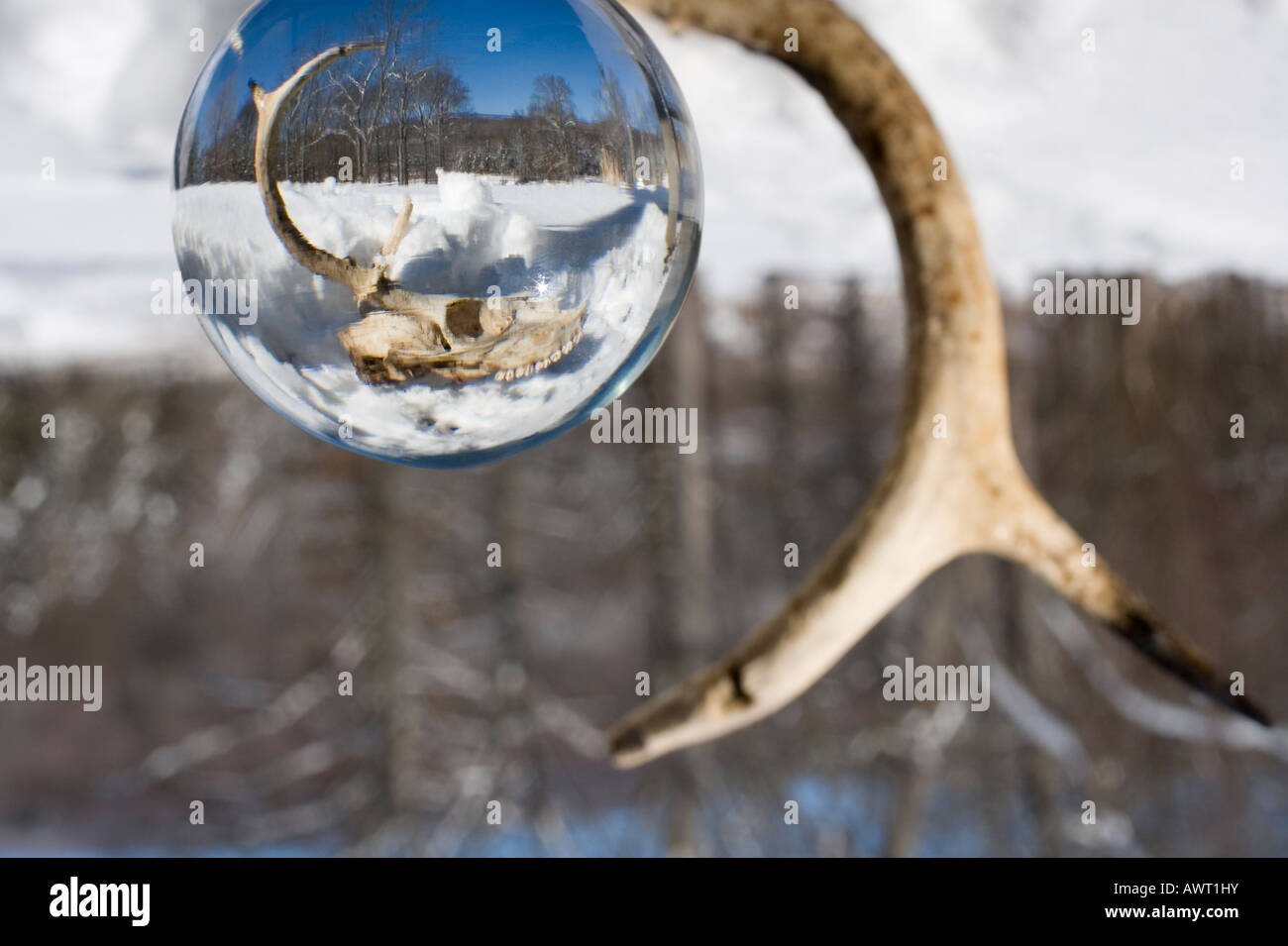 A glass globe refracts light capturing and reversing the image of a deer skull in winter landscape as an antler - Stock Image