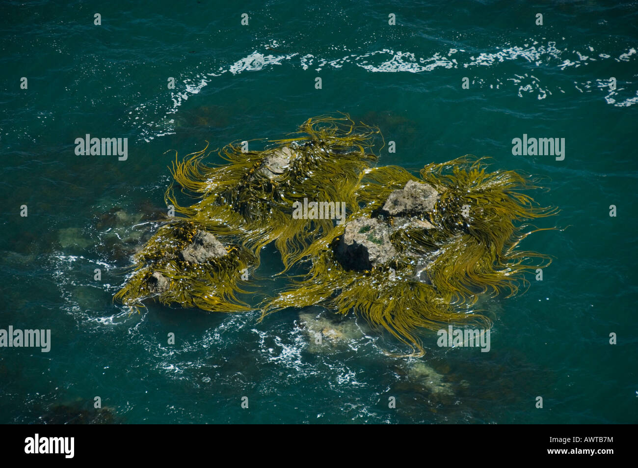 Kelp beds and Pacific Coast, Coastal Habitat of Marine Otter (Lontra felina) or Chungungo, ENDANGERED, Chiloe Island, - Stock Image