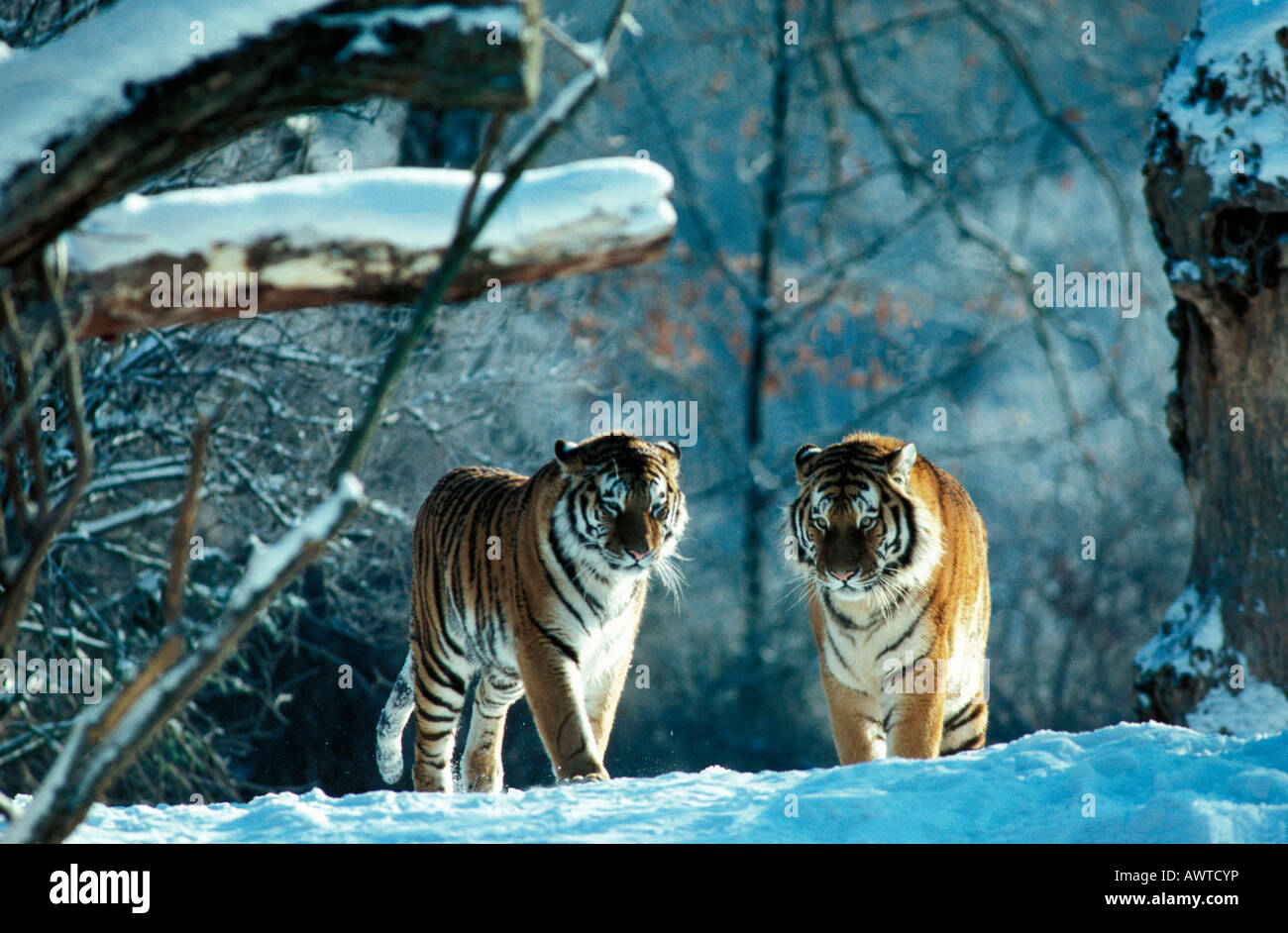 SIBERIAN TIGERS IN WINTER FOREST PANTHERA TIGRIS ALTAICA altaica animal animals Asia Asian Asiatic big blooded Carnivora - Stock Image