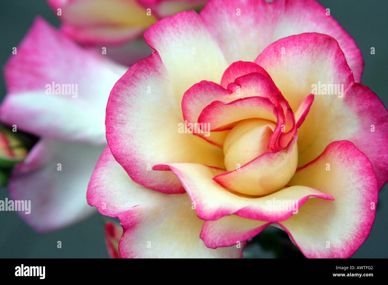 White Flower With Pink Edges Stock Photo 9514817 Alamy