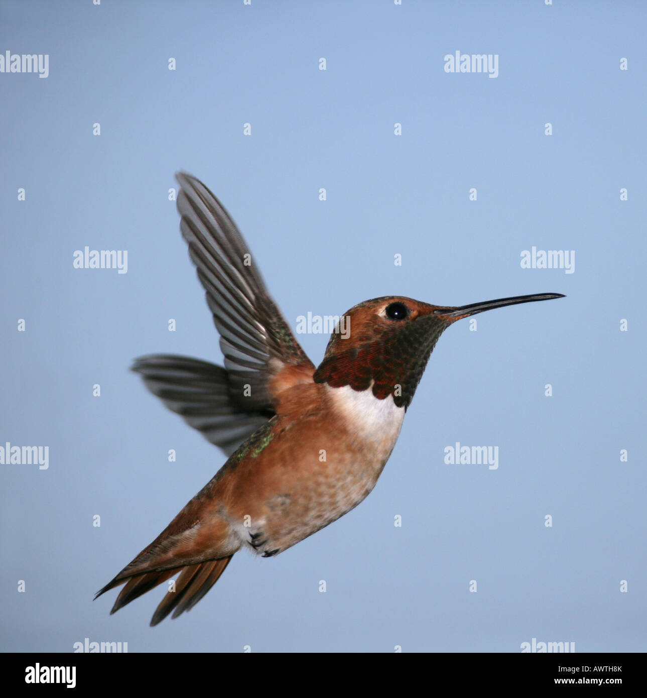 An Allen's Hummingbird, hovering with wings extended back, side view with a blue sky background - Stock Image