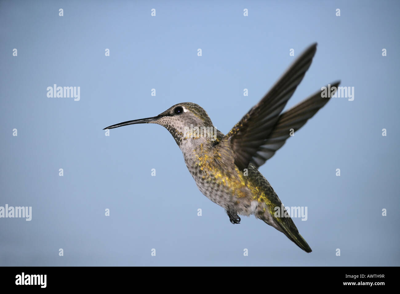 An Anna's Hummingbird, hovering with wings extended back, side view with a blue sky background - Stock Image