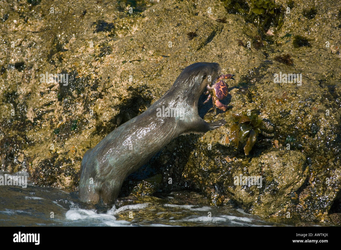 Marine Otter (Lontra felina) with crab, ENDANGERED, Isla Chiloe, CHILE - Stock Image